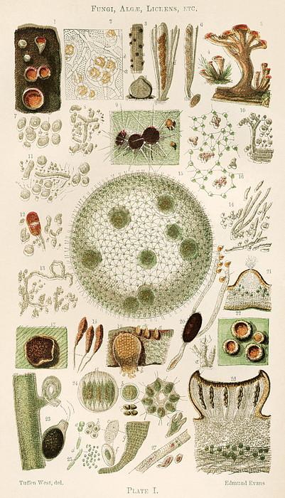 Plant And Fungi Microscopy, 19th Century Print by