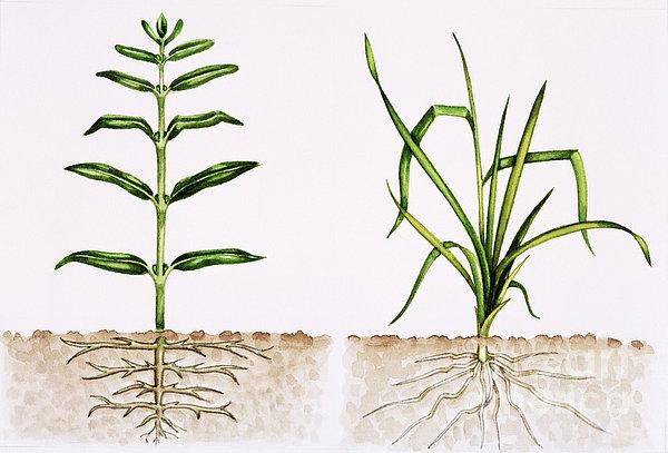 Plant Comparison Print by Lizzie Harper