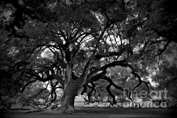Plantation Oak Tree Print by Perry Webster