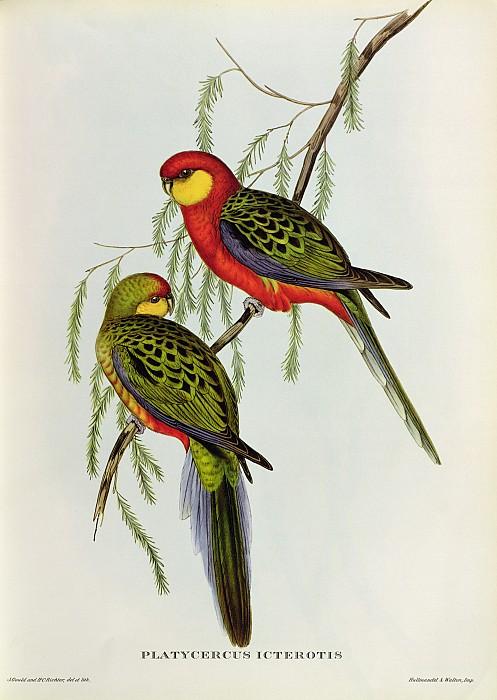 Platycercus Icterotis Print by John Gould