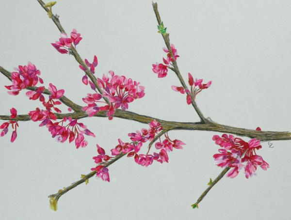 Plum Blossom Print by Glenda Zuckerman