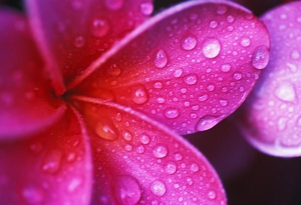 Plumeria Blossom Print by Ron Dahlquist - Printscapes