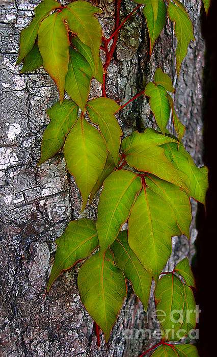 Judi Bagwell - Poison Ivy