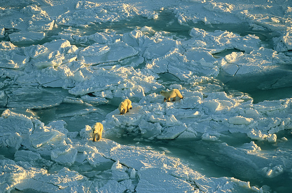 Polar Bear Mother And Cubs Walking Print by Norbert Rosing