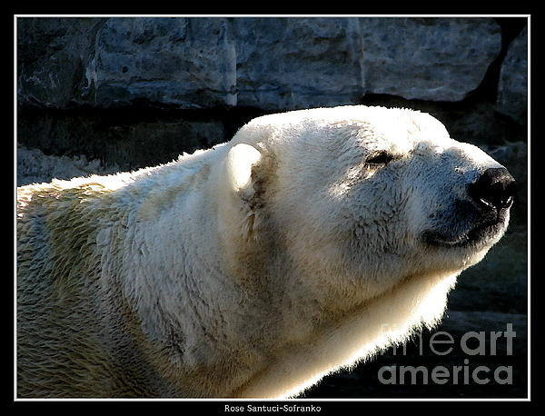 Rose Santuci-Sofranko - Polar Bear with Watercolor Effect