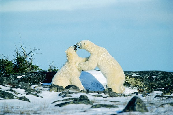 Mike Grandmailson - Polar Bears Sparring, Churchill