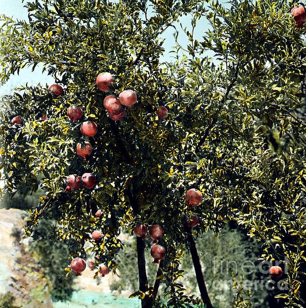 Pomegranate Tree Print by Granger