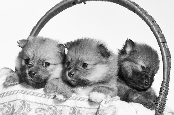 Pomeranian Print by Everet Regal