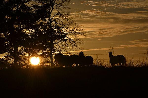 Marc Mesa - Ponies in the golden Ga. winter morning