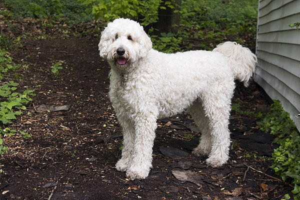 Poodle Mix By Sally Weigand
