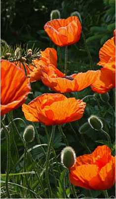 Poppies In The Pines Photograph 