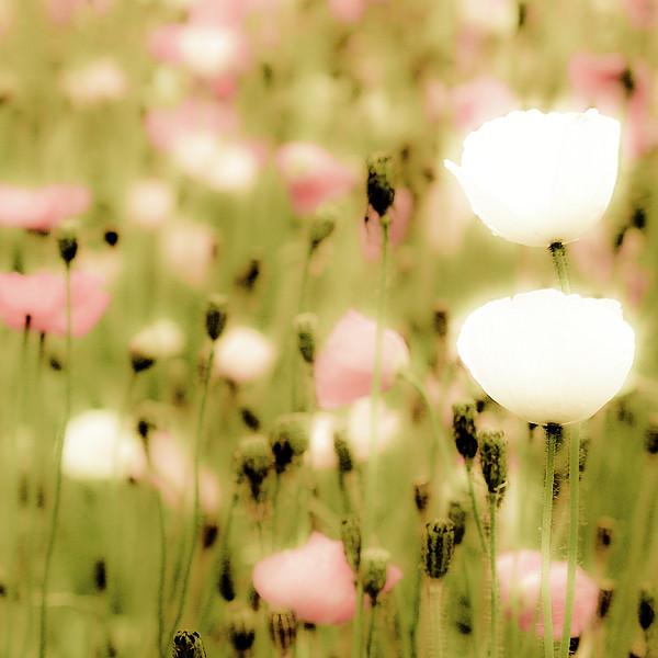 Poppy Fields Print by Luigi Masella
