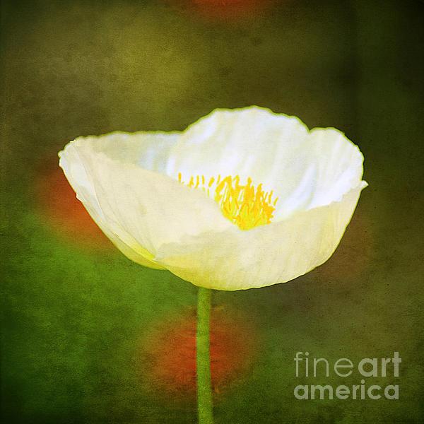 Darren Fisher - Poppy of White