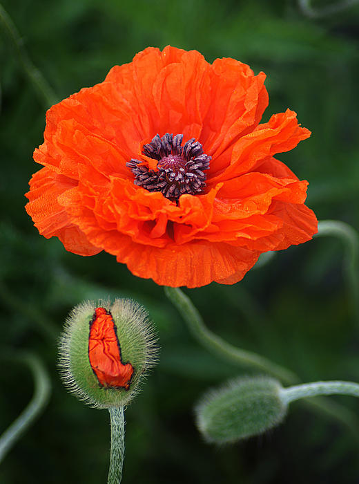 Poppy Progression Photograph