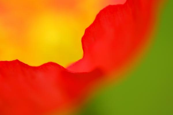 Poppy Print by Silke Magino