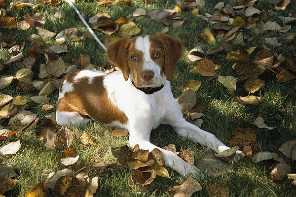 Portrait Of A Brittany Spaniel Puppy Print by Paul Damien