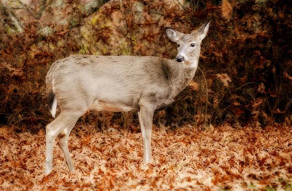 Portrait Of A Deer Print by Kathy Jennings