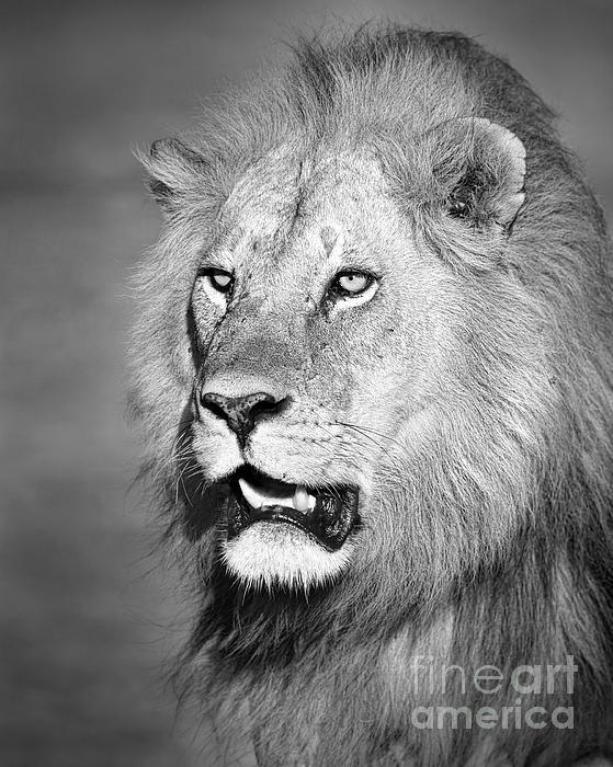 Portrait Of A Lion Print by Richard Garvey-Williams