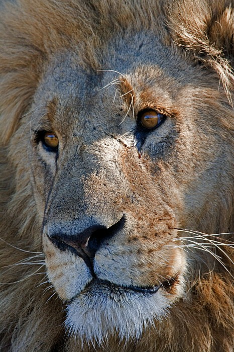 Portrait Of A Male African Lion Print by Beverly Joubert