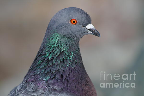 Portrait Of A Pigeon . 7d12327 Print by Wingsdomain Art and Photography