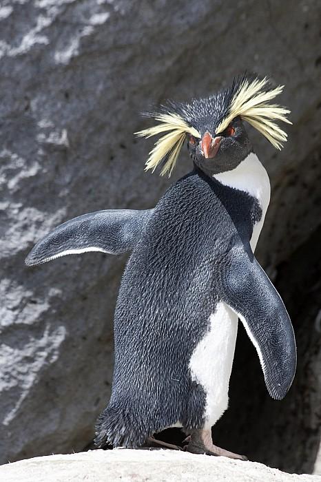 Portrait Of A Rockhopper Penguin Print by Kent Kobersteen
