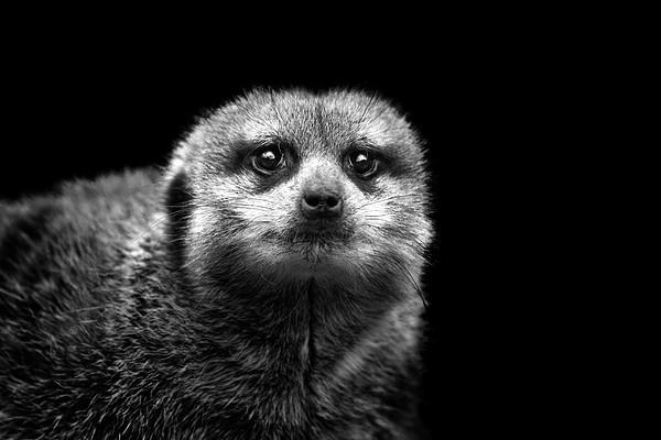 Portrait Of Meerkat Print by Malcolm MacGregor