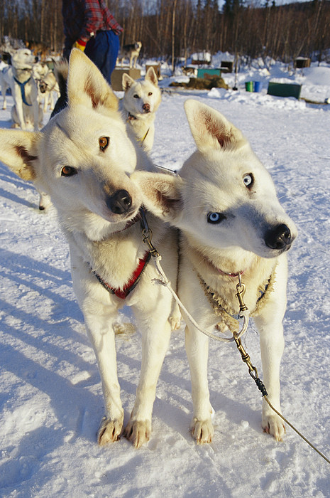 Portrait Of Two Husky Sled Dogs Print by Paul Nicklen