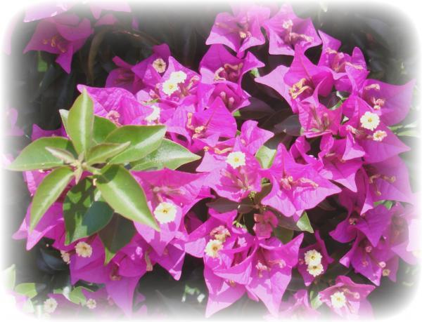 portugal flower