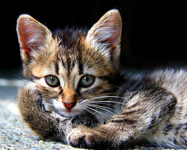 Posing Kitty Print by Joe Myeress