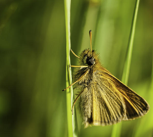 Thomas Young - Poweshiek Skipperling