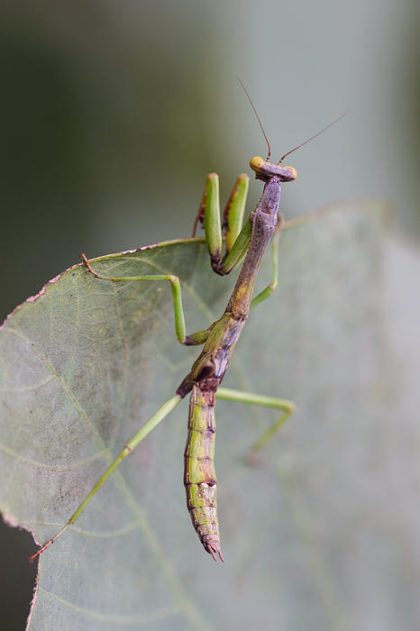 praying Mantis Print by Craig Lapsley