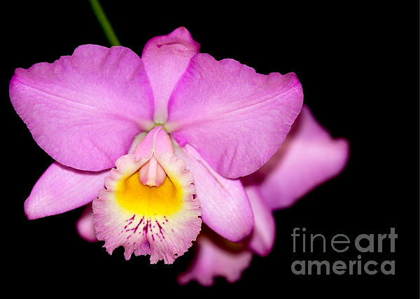 Pretty In Pink Orchid Print by Sabrina L Ryan