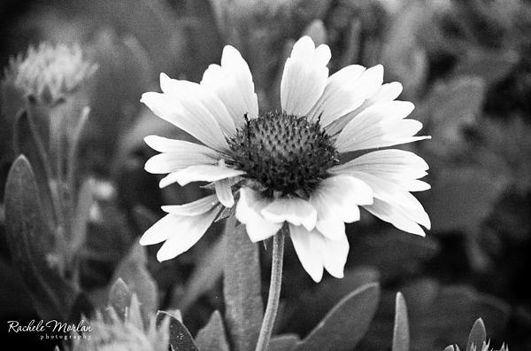 Rachele Morlan - Pretty Petals