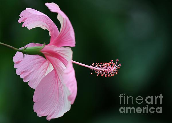 Pretty Pink Hibiscus Print by Sabrina L Ryan