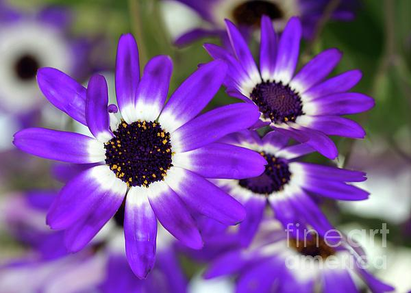 Pretty Purple Daisies Print by Sabrina L Ryan