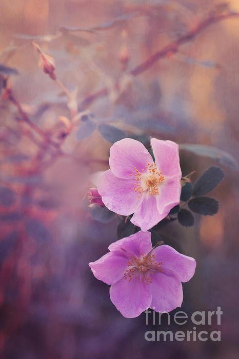 Prickly Rose Print by Priska Wettstein