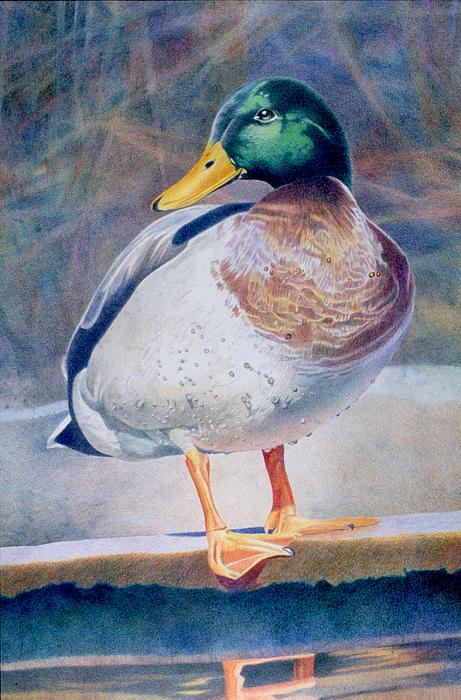 Pride - Male Mallard Drawing