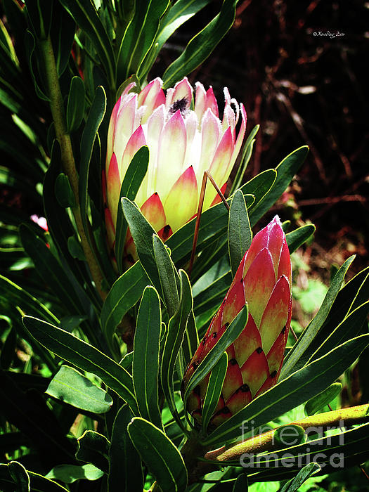 Protea Flower 3 Print by Xueling Zou