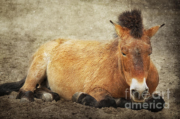 Przewalski-horse Print by Angela Doelling AD DESIGN Photo and PhotoArt