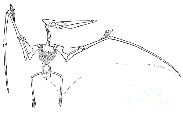 Pteranodon Longiceps Print by Science Source