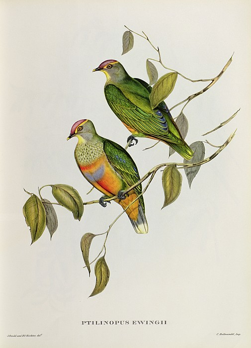 Ptilinopus Ewingii Print by John Gould