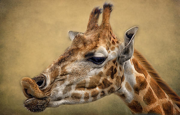 Pucker Up Print by Paul and Fe Photography Messenger