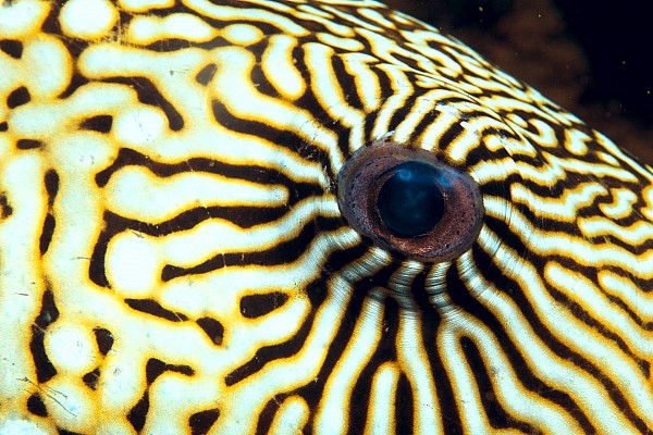 Pufferfish Print by Dave Fleetham - Printscapes