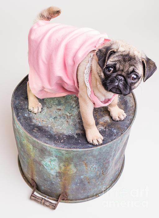 Pug Puppy Pink Sun Dress Print by Edward Fielding