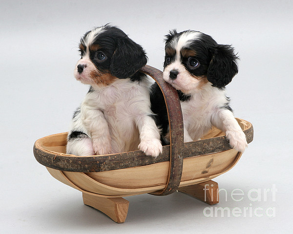 Puppies In A Trug Print by Jane Burton