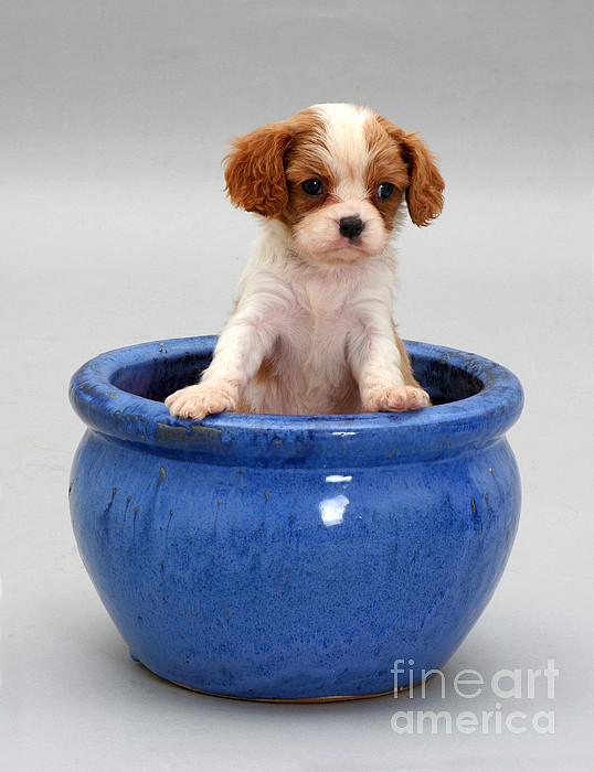 Puppy In A Pot Print by Jane Burton
