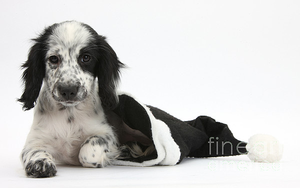 Puppy In Christmas Hat Print by Mark Taylor