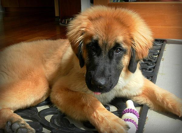 Sheilan Sheilan - Puppy