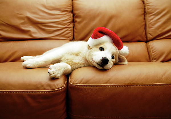 Puppy Wears A Christmas Hat, Lounges On Sofa Print by Karina Santos