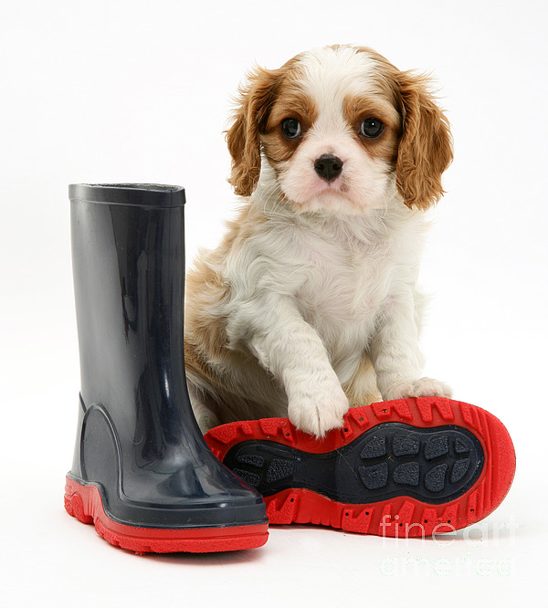 Puppy With Rain Boots Print by Jane Burton